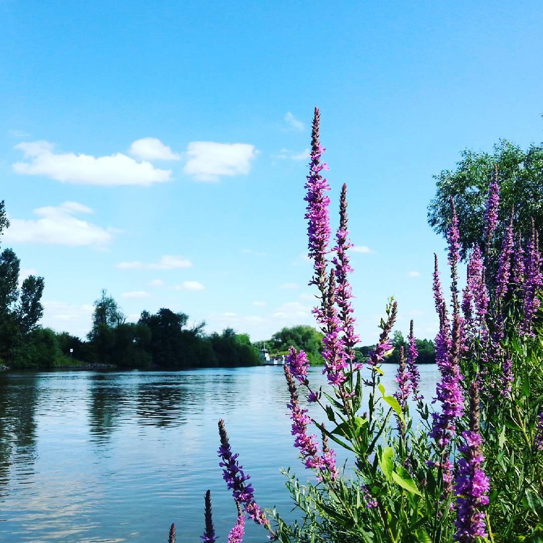 Der Blutweiderich an den Mainwiesen in Seligenstadt stellt mit seinen violetten Blüten einen schönen Kontrast zur sonst sehr blauen Szenerie dar