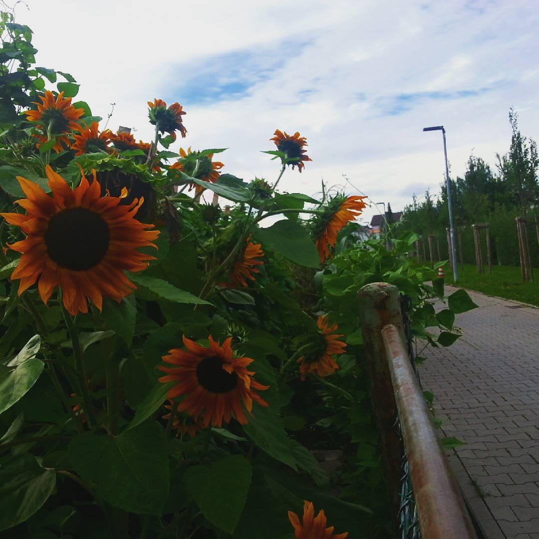 Euch allen ein schönes Wochenende! Diese roten Sonnenblumen habe ich im Stadtgraben fotografiert. Der Stadtgraben ist eine kleine grüne Schneise am Rand der Altstadt und ein schöner Ort zum Eisessen oder die Mittagspause zu verbringen
