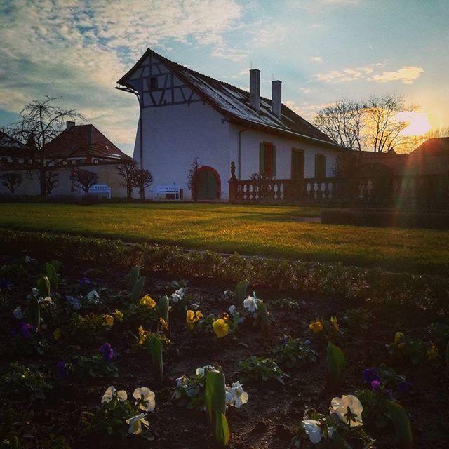 Sonnenuntergang im Klostergarten, blühende Primeln und Schnee auf dem Dach der Orangerie