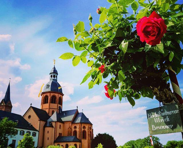 Hochstammrose im historischen Klostergarten Seligenstadt