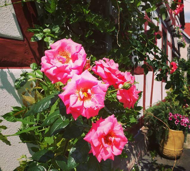 Rosen und Fachwerk: Viele Häuser in der Altstadt sind mit wunderschönen Blumen dekoriert, die der Altstadt ihren ganz besonderen Reiz verleihen